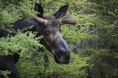 study moose