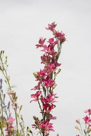 Plant of the week: Larkspur