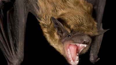 Rabid bats