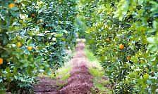 Citrus Tree Some Tlc