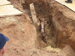 Horse dies in muddy fissure after storm