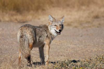 Coyotes Arizona