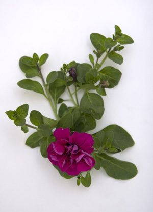 Plant of the week: Double wave petunia