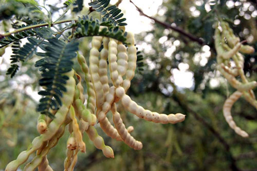 mesquite pods yield sweet healthy flour and they re everywhere