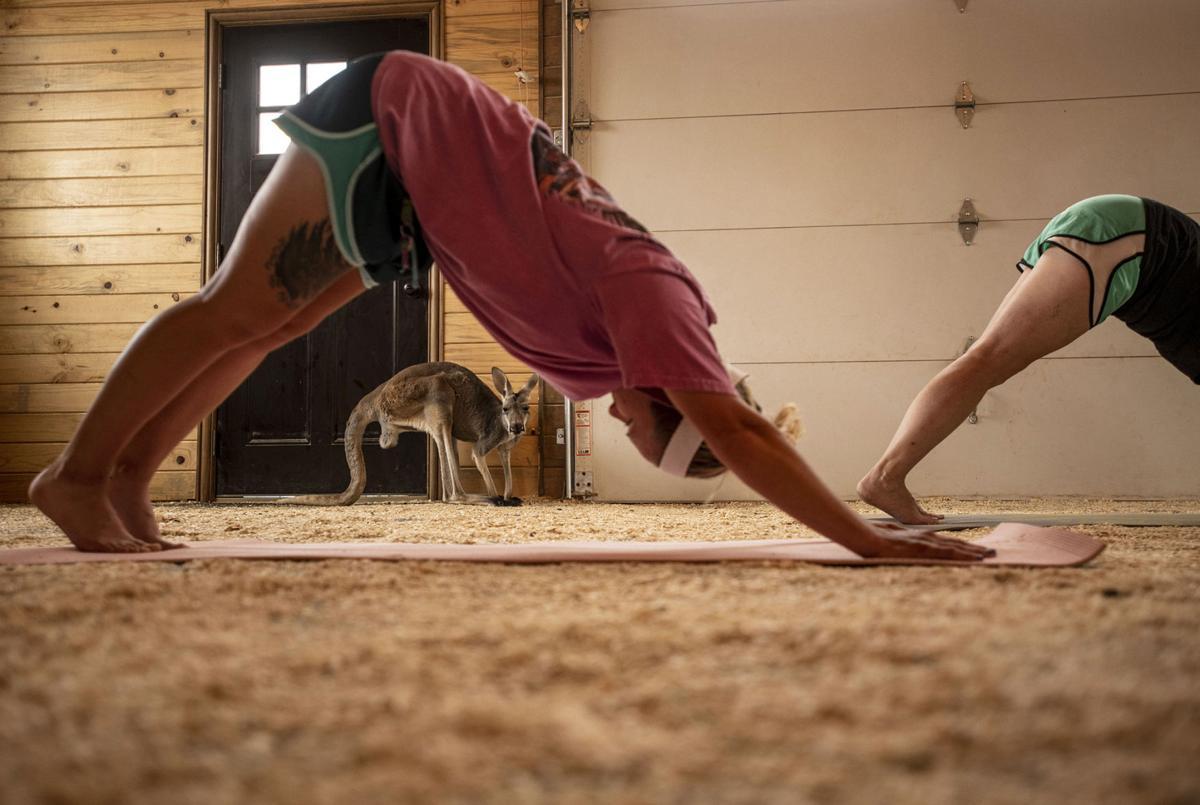 Downward dog at kangaroo yoga