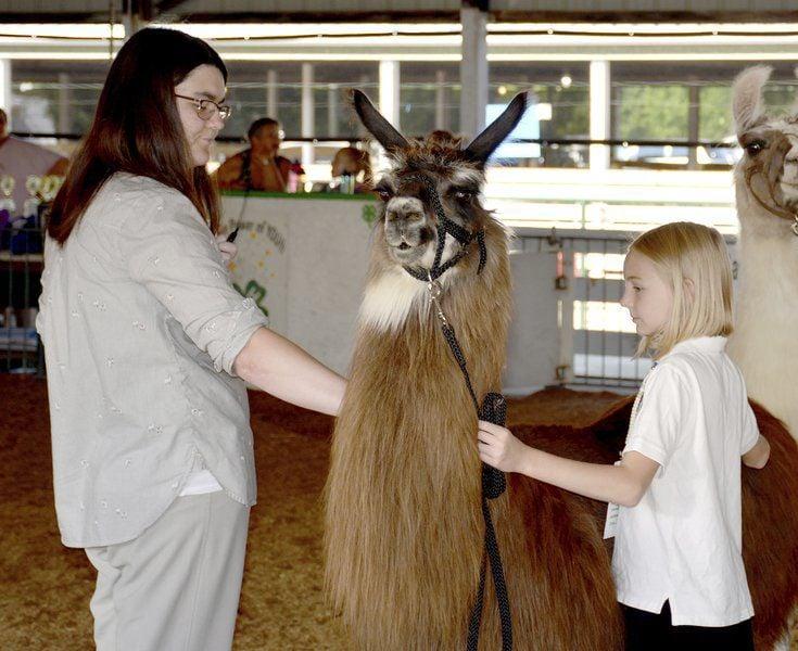 Llamas take center stage