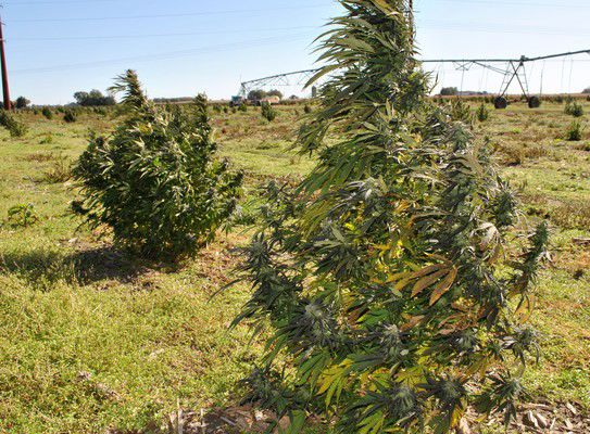 Hemp farmers evaluate first harvest