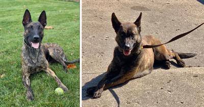 Big Mike and Maja, Elkhart police dogs, K-9