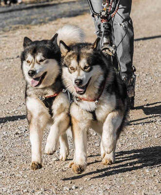 Dog-sledding lessons offered in Mushing 101