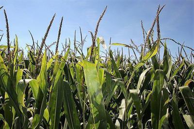 A formula to estimate corn yield