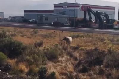 Loose bull on I-80 in Elko