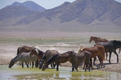 Wild Horses Rescue Plan