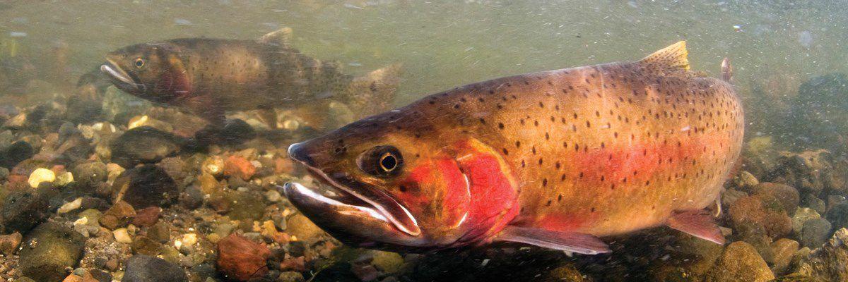 Yellowstone cutthroat trout