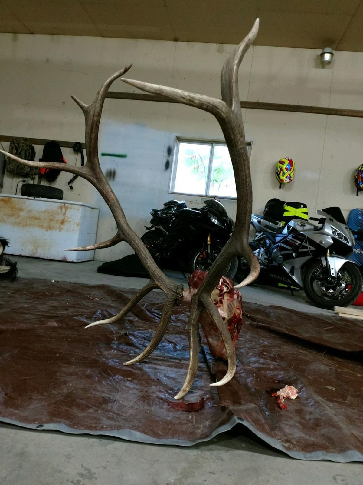 Bull elk head