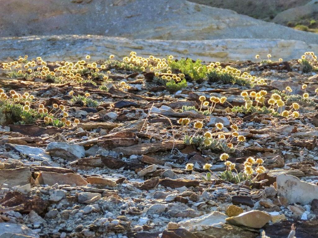 Nevada Wildflower-Endangered Species