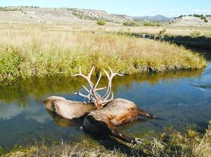 Elk Die After Locking Antlers Local Elkodaily Com
