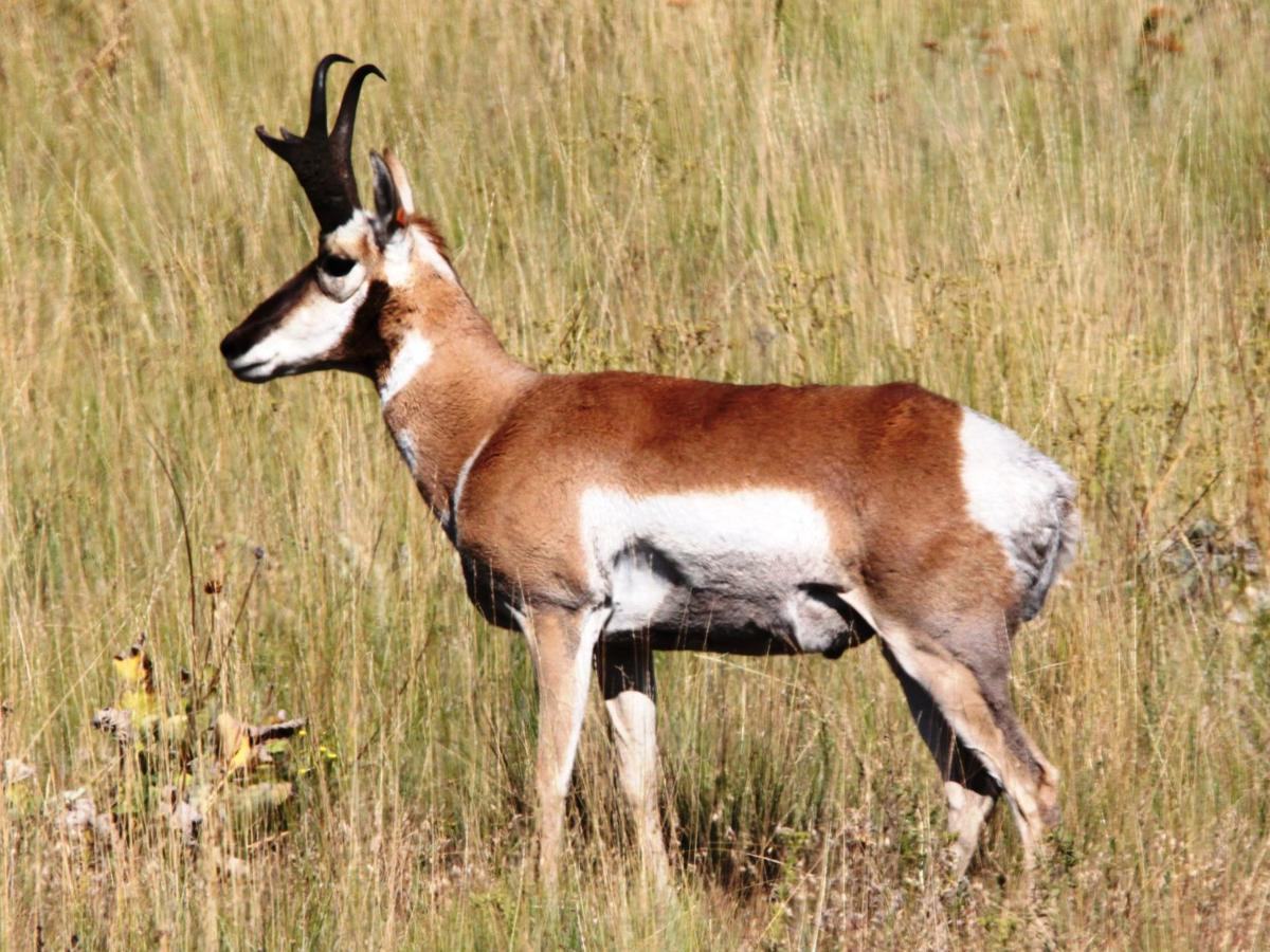 Nature Notes: No other animal is like our Pronghorn | Lifestyles ...
