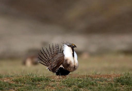 Sandoval backs BLM decision to end sage grouse lands withdrawal