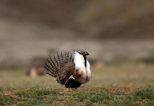 Interior to overhaul Obama-era sage-grouse plan, reopen land to mining