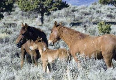 BLM to allow viewing of wild horses | Local | elkodaily com