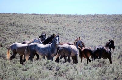 Elko County wild horses
