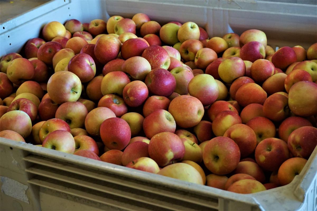 Stepp's Hillcrest Orchard in Hendersonville has been letting visitors pick their own apples for more than half a century.