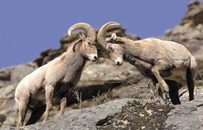Bighorn Sheep Head to Head