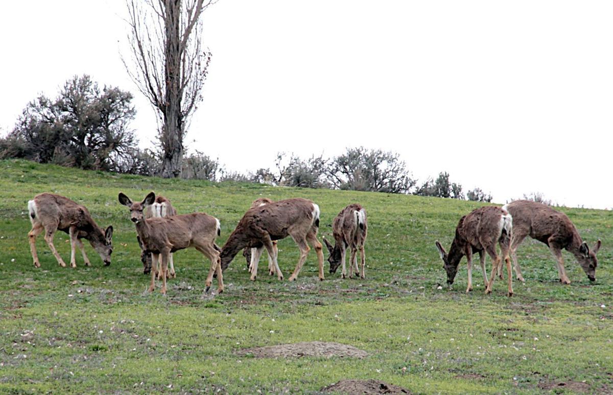 Mule Deer April 8 2017