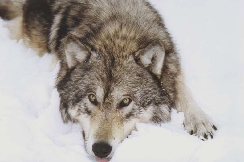 A gray wolf