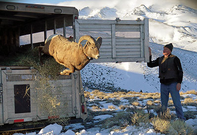 Restocking the herd Bighorn sheep brought to East Humboldt