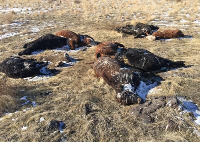 Cattle carcasses dumped near Shoshone