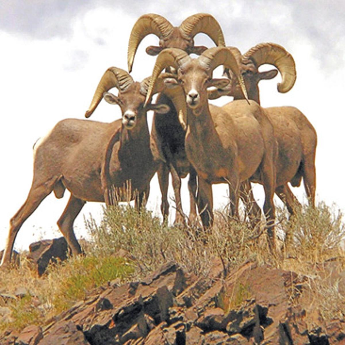 Out Back Nevada Desert Bighorn Sheep Symbol Of Rugged Life Lifestyles Elkodaily Com