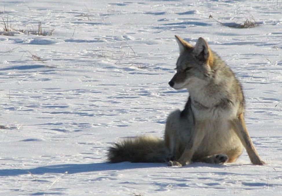 A coyote in snow