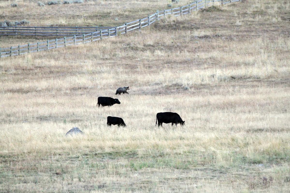 Ranching among grizzlies