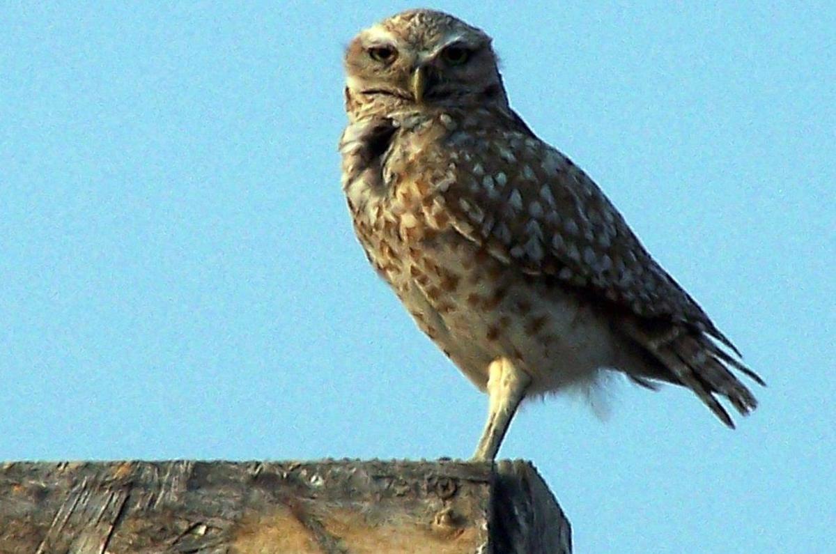Burrowing owl on a sign near Elko
