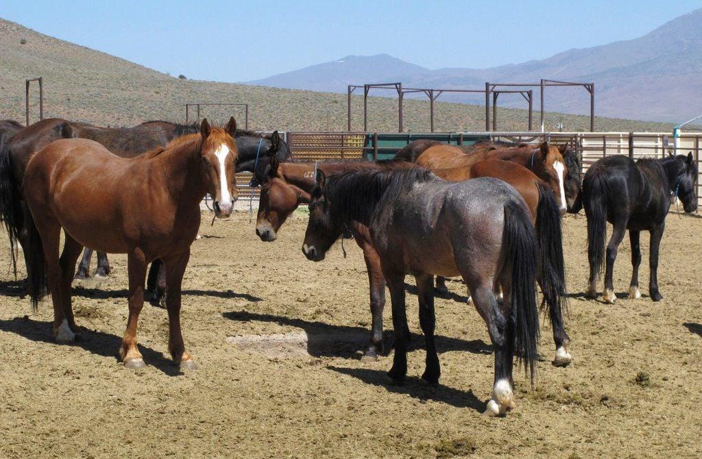 Wild Horses BLM