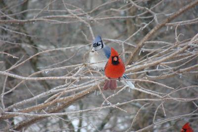 Blue Jays and Cardinals