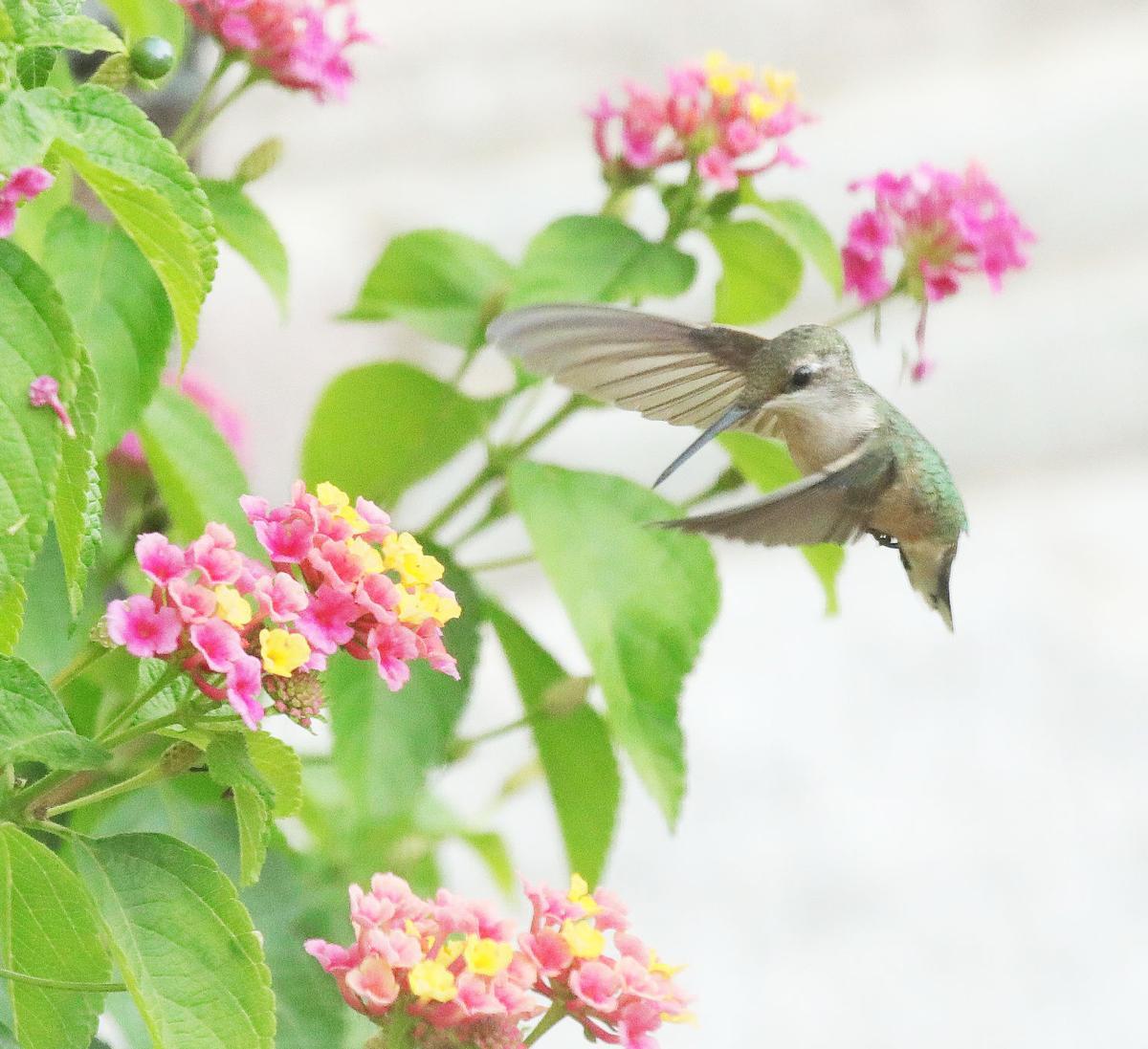 ummingbird 2018008.JPG
