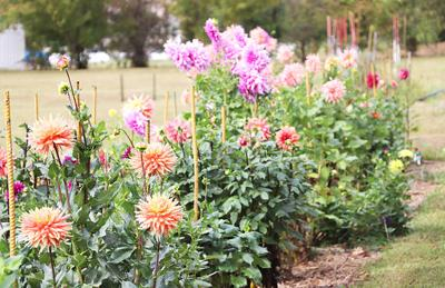 Ron and Shirley Pollinger's Dahlia Garden in Union