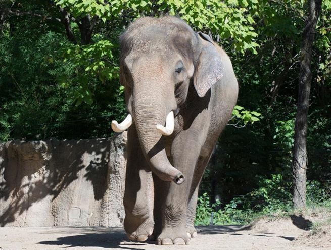 Raja at the St. Louis Zoo