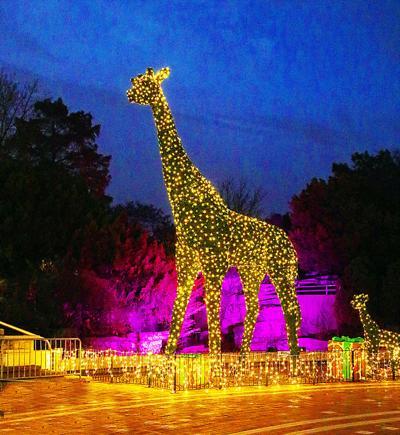 Wild Lights at Zoo