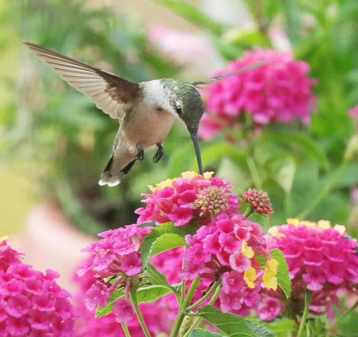 ummingbird 2018007.JPG