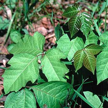 Poison Ivy in Summer