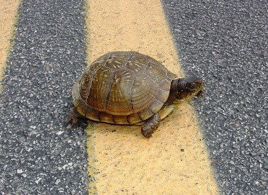 MDC urges drivers to give turtles a brake!