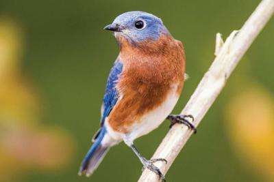 Missouri Birds