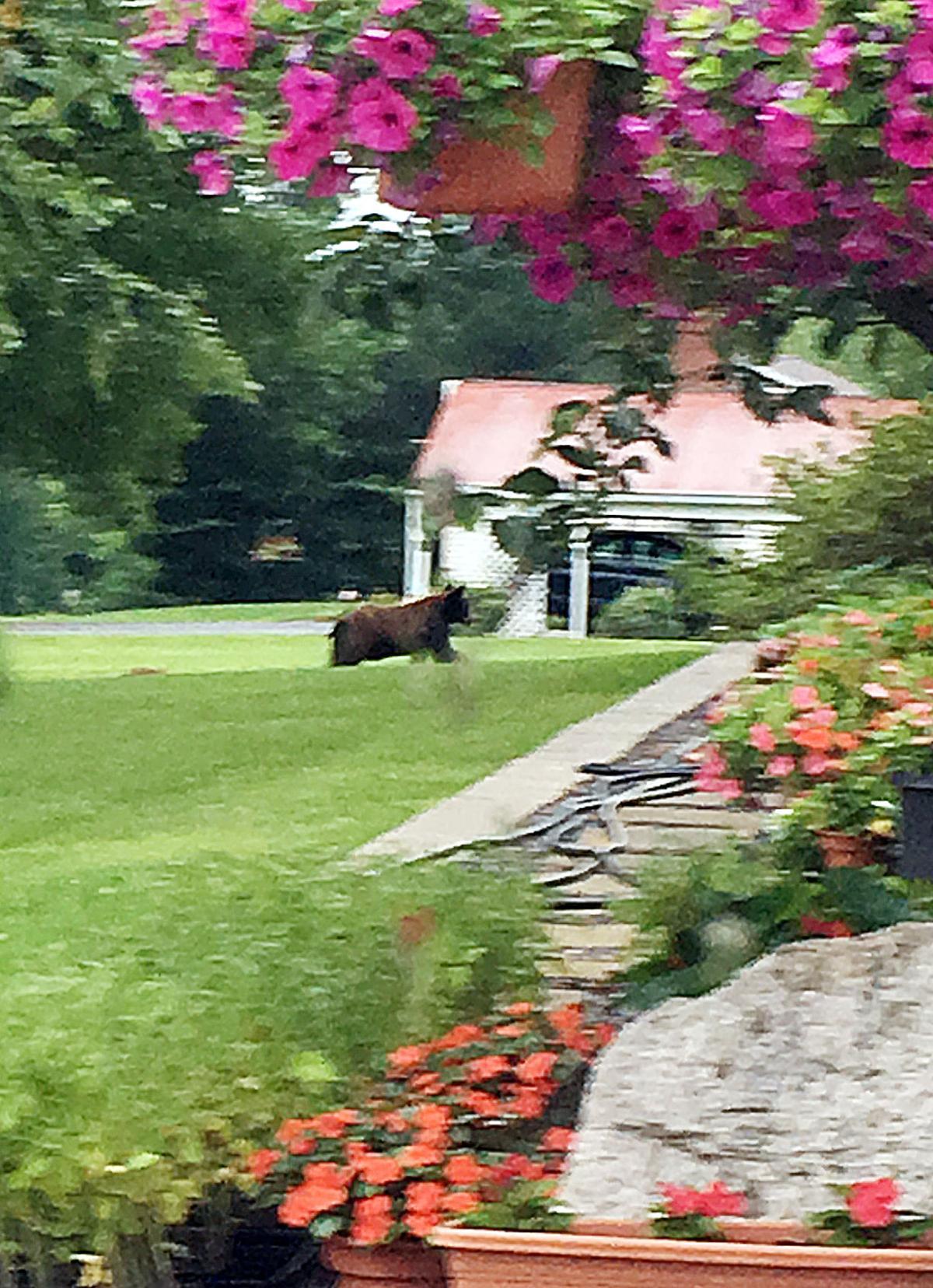 Bear in County