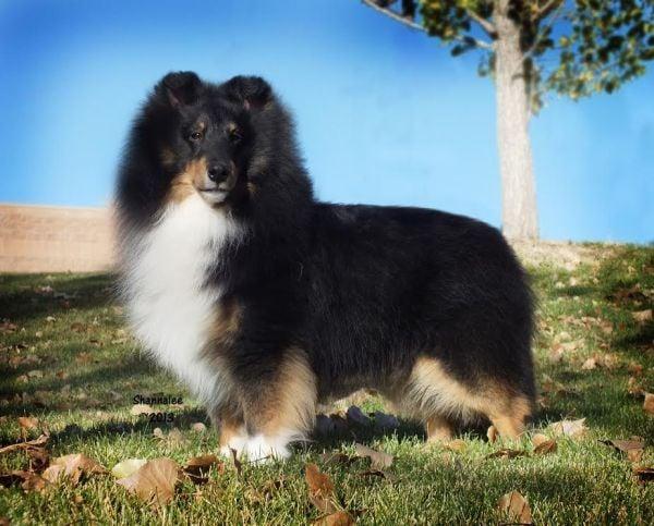 Missing Shetland sheepdog