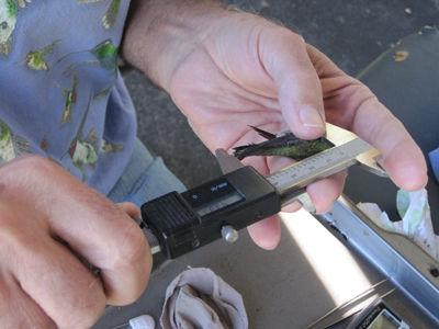 Measuring a Hummingbird