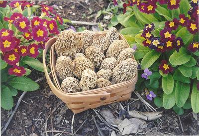 Morels in a Basket