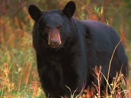 Bear Probably Has Left Area